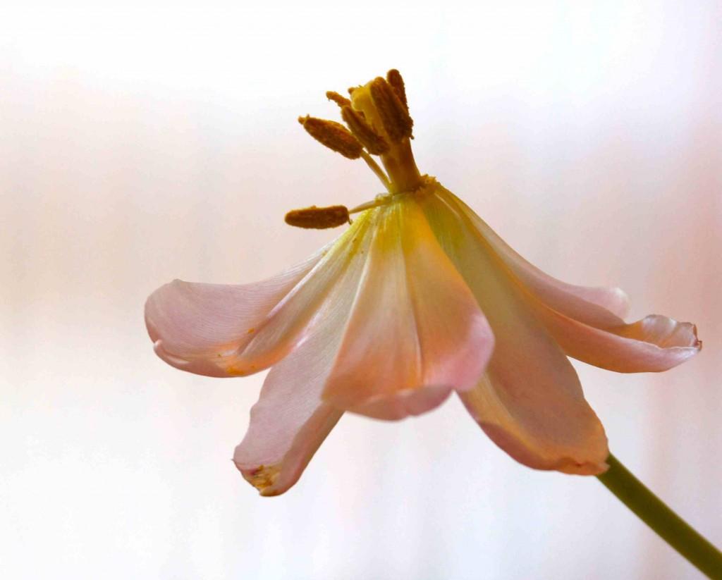 Tulpen, verblüht_smf