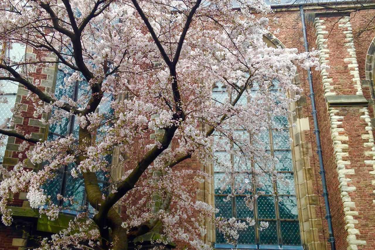 Kirschblüte an der Pieterskerk – mit 900 Jahren die älteste Kirche in Leiden