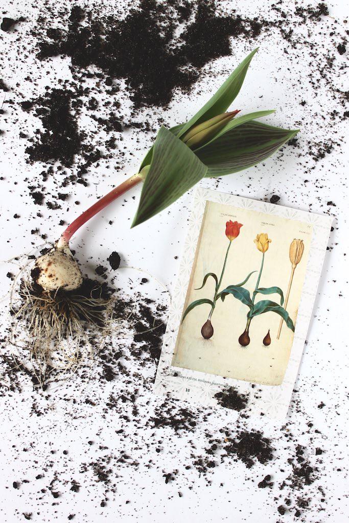 Sonntagsglück-Tulpen-pflanzen-soulsistermeetsfriends