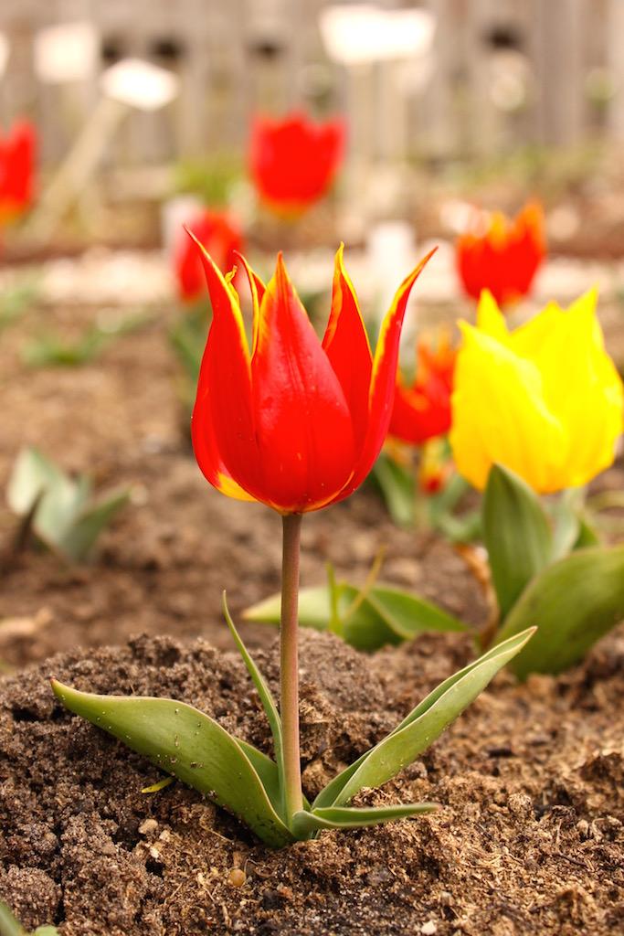 Genau hier blühte die erste Tulpe auf holländischem Boden ... vor rund 400 Jahren