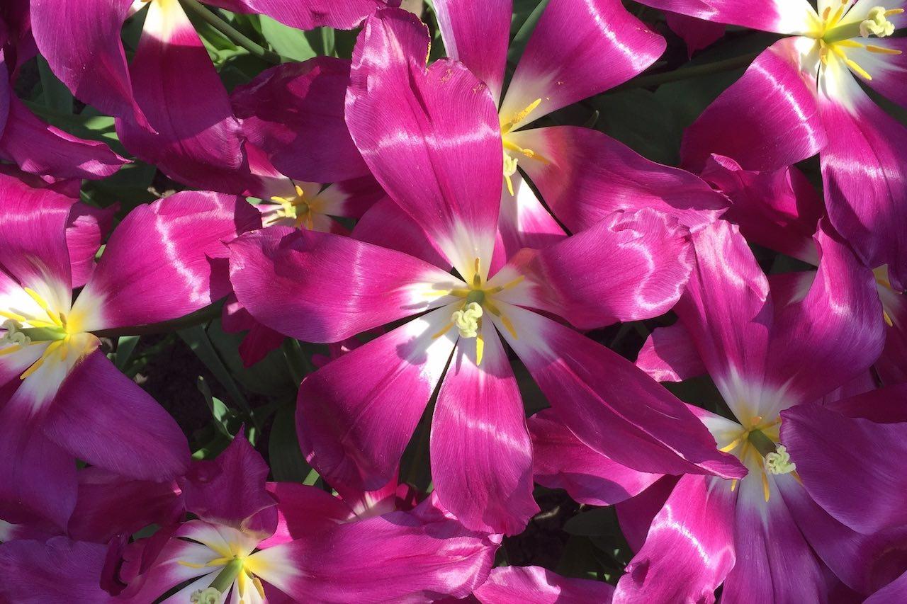 Traumhaft schön: die Tulpen-Saison im Keukenhof in Holland!