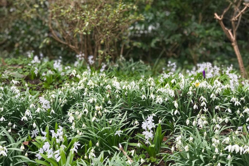 Blogparade #sonntagsglück: Schneeglöckchen im botanischen Garten