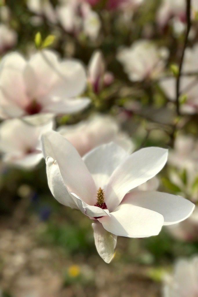 Blogparade #sonntagsglück: Magnolien-Liebe & Netzwerken für Blogger