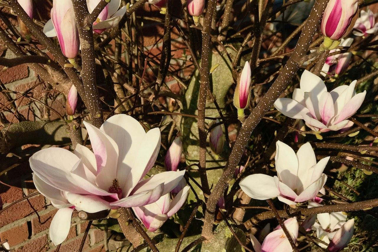 Blogparade #sonntagsglück: Netzwerken für Blogger & große Magnolienliebe