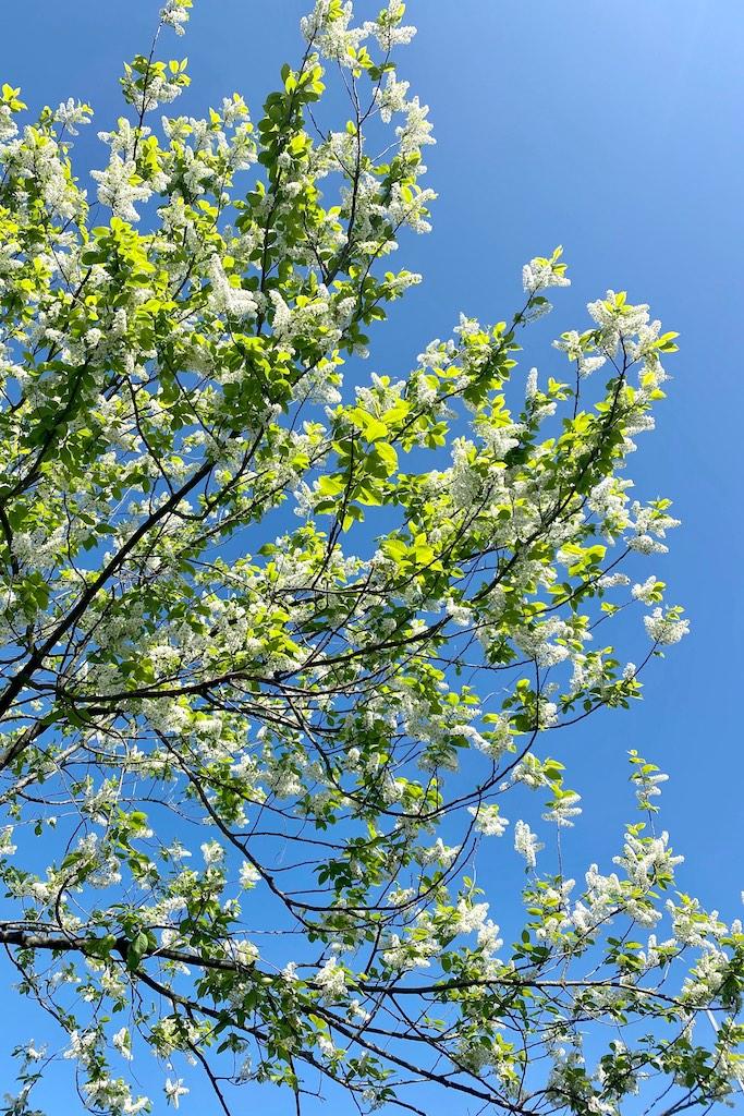 Netzwerken beim #sonntagsglück: Kirschblüte und der Traum vom Sommer