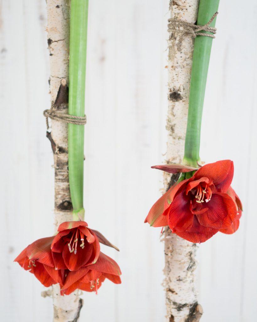 Blumedeko: Amaryllis über Kopf aufhängen