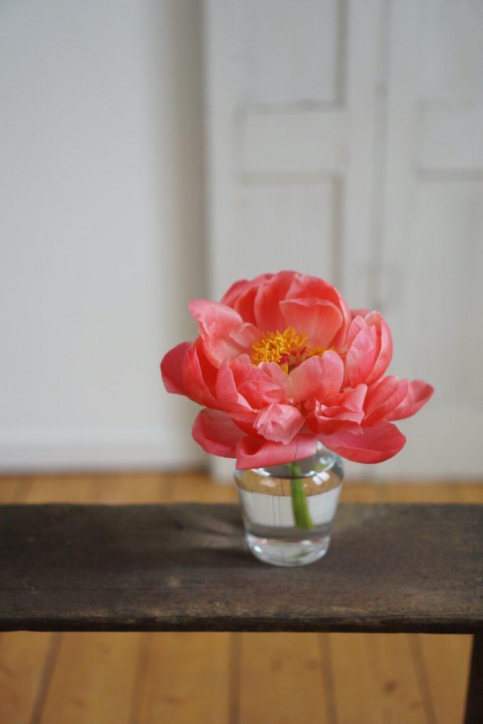 Paeonienblüte