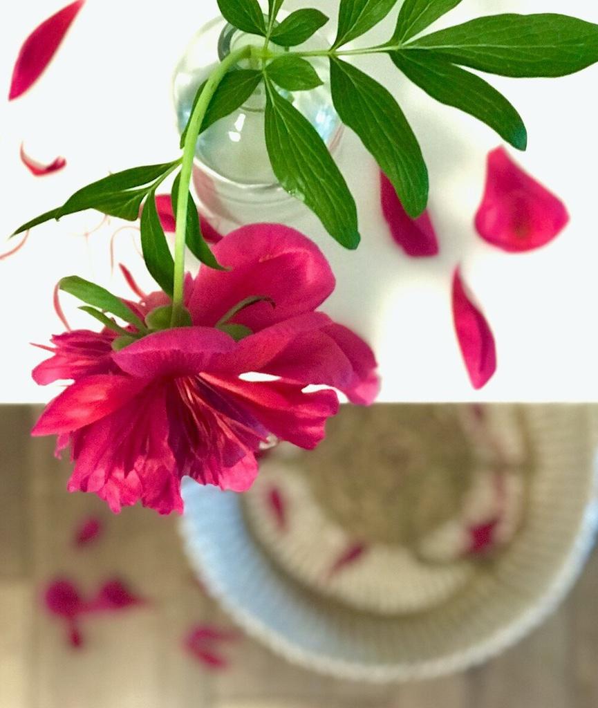 Pfingstrose Pink Stilleben