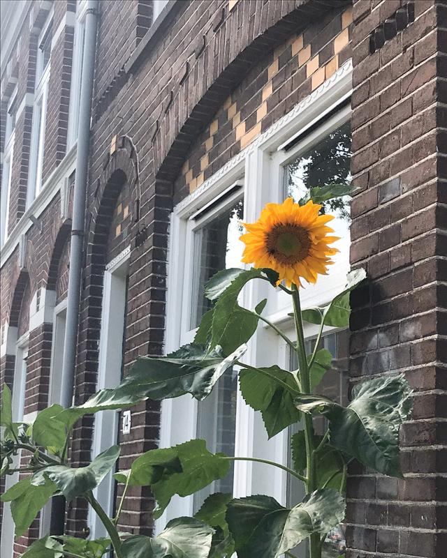 Sonnenblume vor Hausfassade Backstein