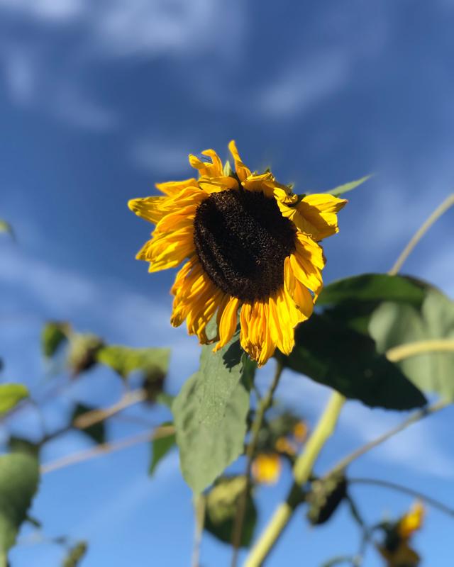 Sonnenblume und blauer Himmel
