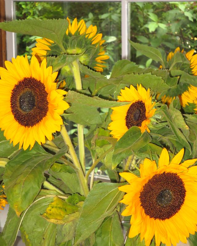 Sonnenblumen wie bei van Gogh